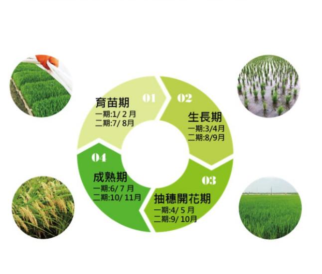 稻子成長的故事