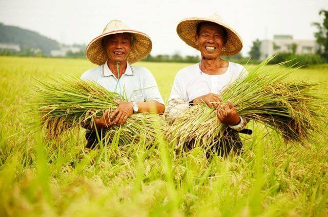 農糧署:一期稻作豐產 總產量較106年增22%